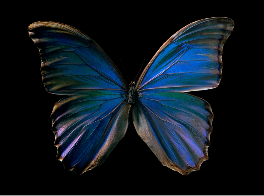 Harf Zimmermann / Morpho godarti / Museum of Natural History Berlin